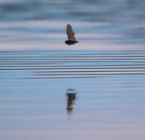 Bat flying over water by Ben Porter